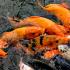 Budidaya dan pembesaran ikan mas